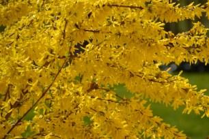 Värdforsüütia (Forsythia x intermedia) 'Spring Glory' (30.04.2015)