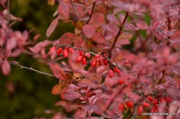 Thunbergi kukerpuu (Berberis thunbergii) 'Pink Princess' (24.10.15)
