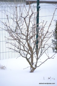Harilik sirel (Syringa vulgaris) 'Katherine Havemeyer' (13.01.16)