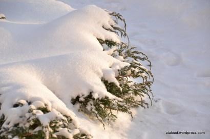Kirju kadakas (Juniperus squamata) 'Blue Carpet' (14.01.16)