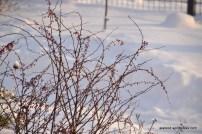 Thunbergi kukerpuu (Berberis thunbergii) 'Pink Princess' (14.01.16)