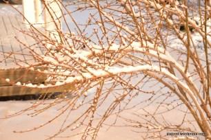 Värdforsüütia (Forsythia x intermedia) 'Spring Glory' (14.01.16)