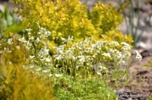 Arendsi kivirik (Saxifraga arendsii) 'Schneeteppich', taustaks Thunbergi kukerpuu (Berberis thunbergii) 'Aurea' (13.05.2016)