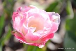 Tulp (Tulipa) 'Up Pink' (13.05.2016)