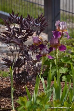 Taluaiast pärit kõrge aediiris, taustaks nooruke haruline lursslill (Cimicifuga ramosa) 'Carbonella' (15.06.2016)