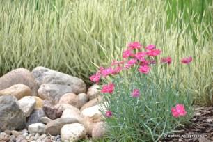 Hall nelk (Dianthus gratianopolitanus) 'Rotkäpchen', taustal pehme mesihein (Holcus mollis) 'Jackdaws Cream' (29.06.2016)