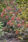 Äraõitsenud lodjapuulehine põisenelas (Physocarpus opulifolius) 'Diabolo' (29.06.2016)