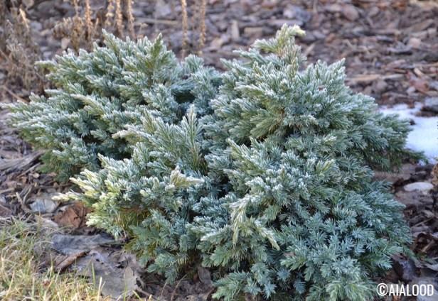 Kirju kadakas (Juniperus squamata) 'Blue Star' (15.02.2017)