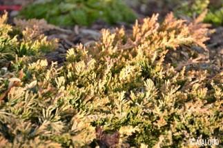 Roomav kadakas (Juniperus horizontalis) 'Golden Carpet' (15.02.2017)