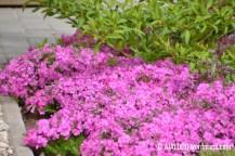 Padjand-leeklill (Phlox subulata) 'Mc Daniel's Cushion' värdforsüütia (Forsythia x intermedia) 'Spring Glory' varjus (31.05.2017)