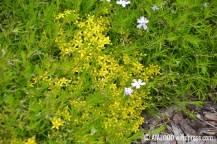 Padjand-leeklille e. padjandfloksi (Phlox subulata) 'Emerald Cushion Blue' vahelt piilub harilik kukehari (Sedum acre) (29.06.2017)