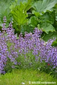 Õitsev aedsalvei (Salvia officinalis), taga rabarber ja ees õitsemise lõpetanud padjand-leeklill e. padjandfloks (Phlox subulata) 'Emerald Cushion Blue' (29.06.2017)