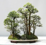 chinese_elm3