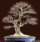 bonsai08