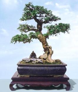 penjing_carmona_microphylla_tree