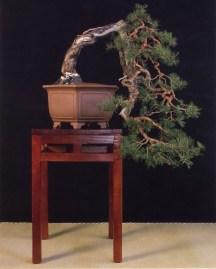 Pinus sylvestris - Irun Guizpuscoa (Espanha)
