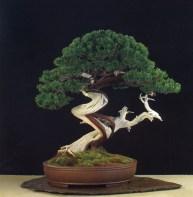 PRÊMIO DO PÚBLICO - Juniperus chinensis Leopoldo Paterlini (Itália)