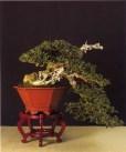 Olea europeana sylvestris - Vicente Rodrigues (Espanha)
