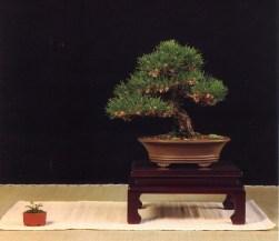 MELHOR SHOHIN - Pinus thumbrrgii Antonio Arana (Espanha)