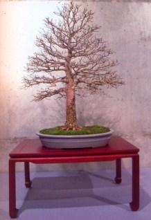 Jaume Canals - Ulmus parvifolia