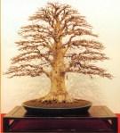 Faus crenata - 85cm (premiado na 77˚ Kokufu Ten)