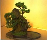 Willy Vande Ginste - Pinus cotoneaster e Juniperus - Penjing (fora da competição)