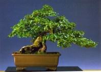 Luca Crespi - Quercus phillyreaoides - Moyogi 50cm