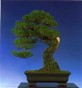 Johann Kastner - Pinus thunbergii Muyogi 85cm