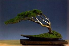 Vaclav Novak - Fukinagashi Pinus uncinata 52cm
