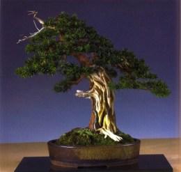 Farrand Bloch - Taxus cuspidata - Moyogi 62cm