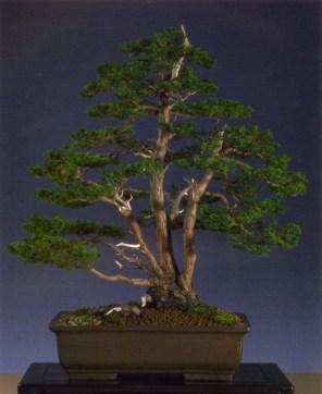 Luc Van Dorssellar - Chamaecyparis obtusa