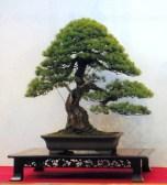 Pinus penthaphyla 92cm