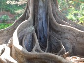 05AprHawaii_Poipu_Allerton_Garden_tree_large_surface_root3