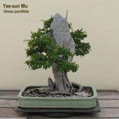 600px-Chinese_Elm_clinging_to_Ying_Tak_Stone,_1961-2007