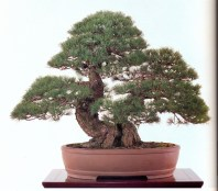 Japanese white pine - 250 anos - 68cm