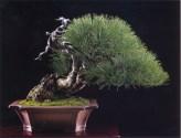 Japanese black pine - 300 anos - 58cm
