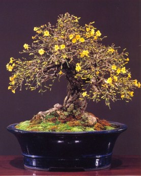 Winter jasmine - 90 anos - 38cm