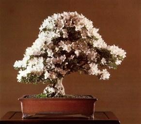 Japanese azalea - 10 anos - 65cm