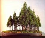Hinoki cypress 12/ 18 anos - 58cm