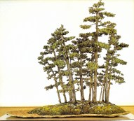 Needle juniper 12/30 anos - 90cm