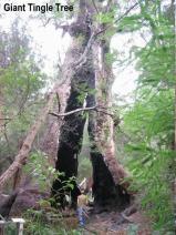 34056-Giant-Tingle-Tree-1