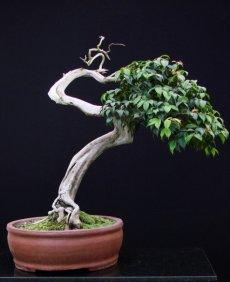 Araçá-piroca (Myrcia cf. multiflora)