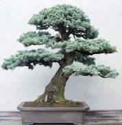 blue-atlas-cedar-from-john-naka-in-training-since-1950