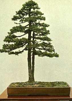 Juniperus003