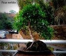 phoca_thumb_l_Ficus nerifulia Pajarito mosiu Sobre roca BdT