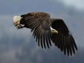 Bald-Eagle-Flying
