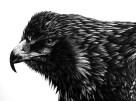 Eagle_Scratchboard