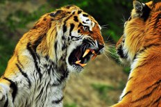 tiger-teeth-photo
