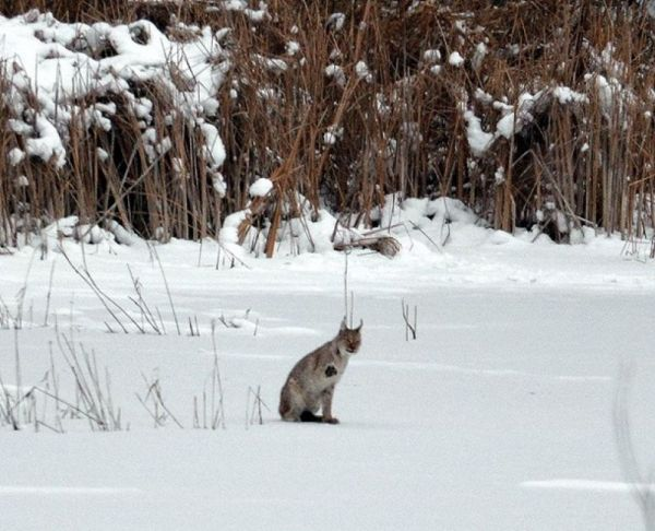 Жизнь без людей: как себя чувствуют дикие животные в ...