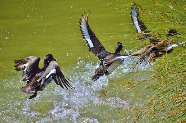 Летят утки. Когда возобновят охоту на пернатую дичь и ...